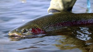Grosvenor Lodge Rainbow Trout - copyright Cherry Toland_edited