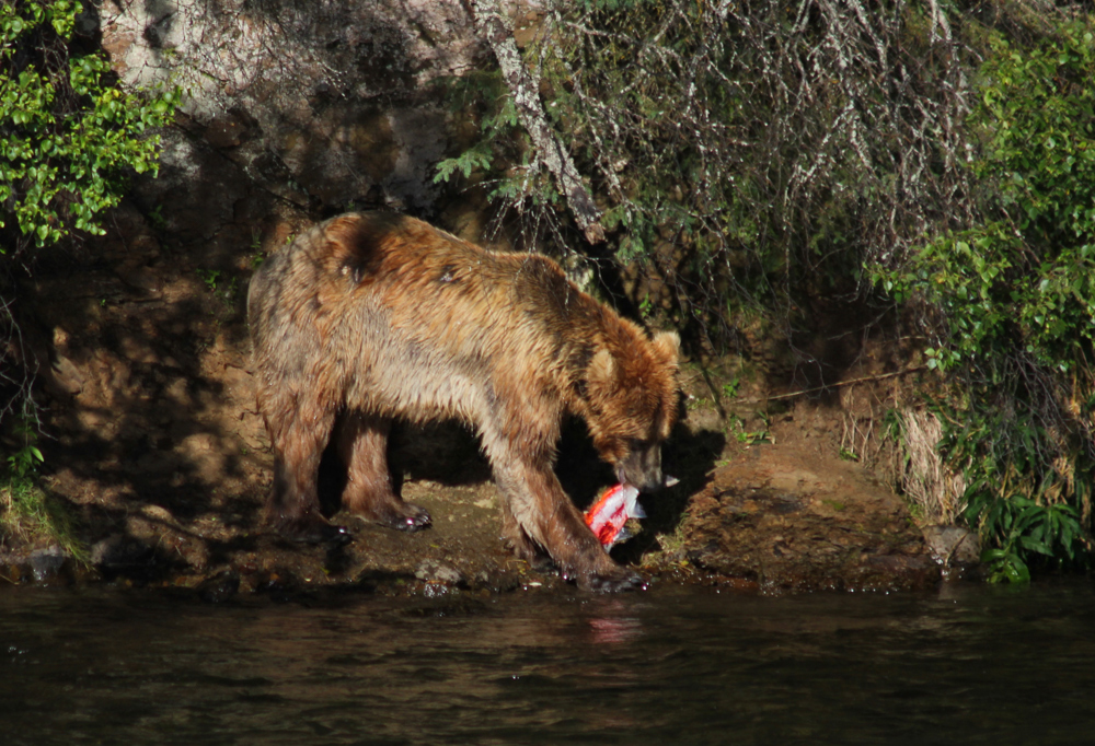 Grosvenor Lodge Bear Eating Salmon at Brooks