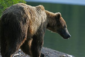 Grosvenor Lodge Brown Bear by Carl Jappe