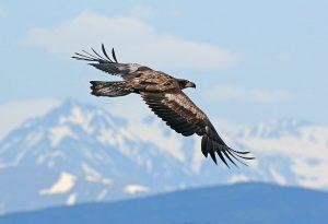 Grosvenor Lodge Eagle