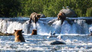 Grosvenor Lodge Brooks Falls Bears from Dowstream